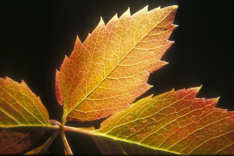 autumnleafblackbkg